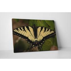 Papilionidae galbena