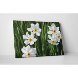 Narcisa alba