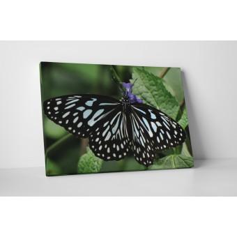 Fluture cu dungi