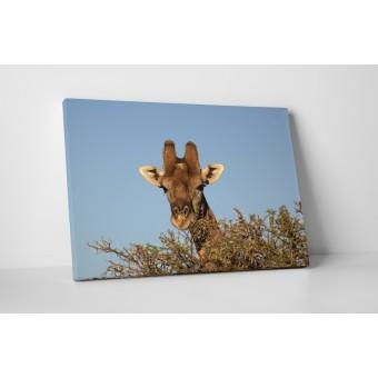 Girafa printre copaci