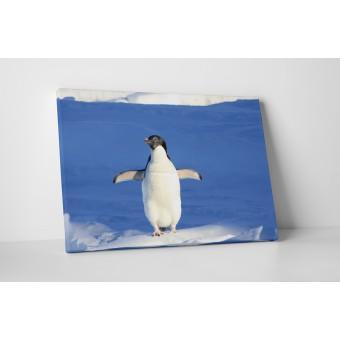 Pinguin dornic sa zboare
