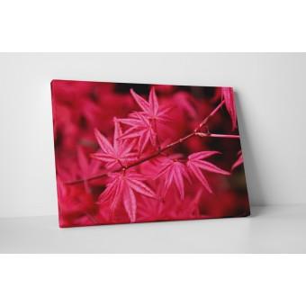 Artar japonez cu frunze rosii