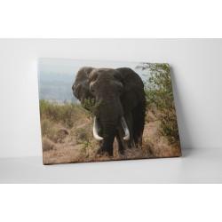 Elefant urias